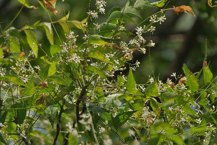 Miodla azadirachta neem kleszcze